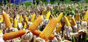 Preço do milho cai cerca de 25,2% em Mato Grosso; pressão vem da oferta