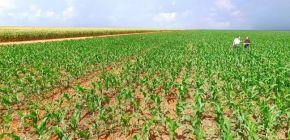 Produtores de milho adotam cautela em negociações em MT