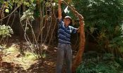 Mandioca gigante nasce em quintal e chama a atenção de produtor em SP