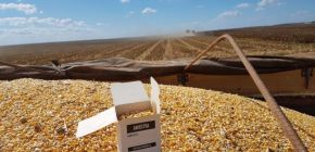 Aprosoja retoma pesquisa de qualidade intrínseca do milho